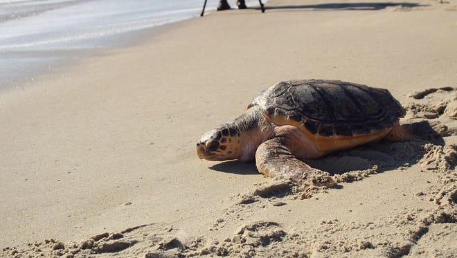 Bailey the loggerhead sea turtle journeys back into the ocean after a nearly year-long battle in rehab.