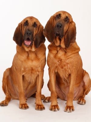 Pete and Lily, a pair of bloodhounds rescued and trained by William Berloni, will be appearing at Paper Mill Playhouse this holiday season.