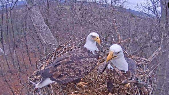 The eagle at right is believed to be the male and has an injured beak. Experts on Dec. 22, 2015, said they are taking a wait-and-see approach.