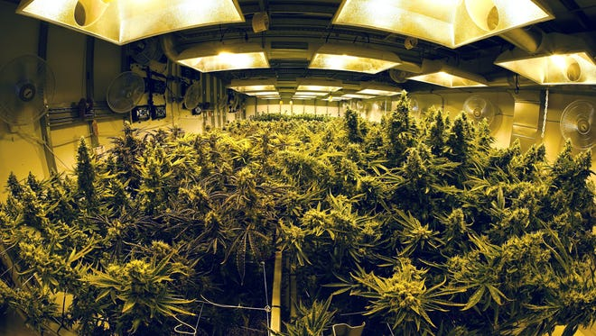 A growing room filled with maturing marijuana plants inside the Medicine Man cannabis dispensary in Denver.