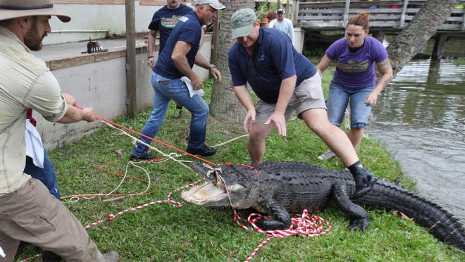Lonnie McCaskill, of Disney's Animal Kingdom, prepares to corral a bull gator during Gatorama's Big Bull Roundup on Sunday at the Moore Haven attraction.