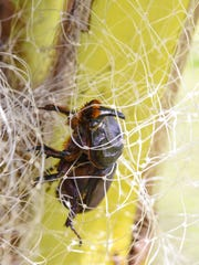 """A coconut rhinoceros beetle is found entangled in netting material of a """"tree bow-tie"""" trap, placed within the fronds of a coconut tree, at the University of Guam on Saturday, July 29, 2017."""