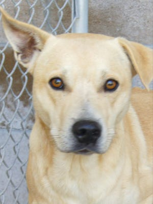 Leo is a year old, male Lab mix that found his way to Crittenden Co. Animal Shelter. He is really sweet and needs help with a foot injury. If you know where he belongs or would like to help him out and give him a new home, please contact us today.