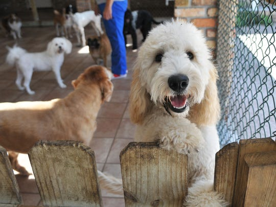 One of the resort guests offers a casual pose for the camera. Heather Carelli, owner of Paradise Luxury Dog Resort has made it a requirement that dog owners whose pets are guests here get the dog flu vaccine to be on the safe side.