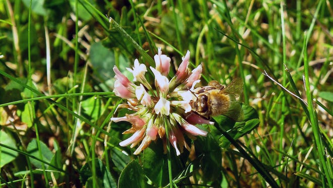 A honeybee harvesting pollen from one of the clover blooms on a lawn near Langley, Wash on July 6, 2014. White clover generally is considered the best plant companion to cool season lawn grasses when trying to attract pollinators. Blended bee-friendly lawns can be a beneficial compromise when landscaping.