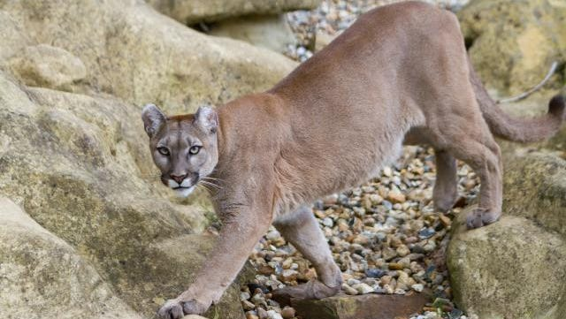 A cougar is a formidable predator.