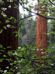 Giant Sequoia grove at Case Mountain near Three Rivers.