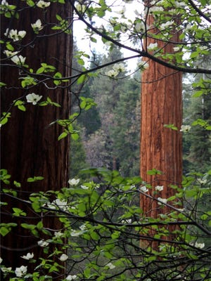 Giant Sequoia grove at Case Mountain near Three Rivers.