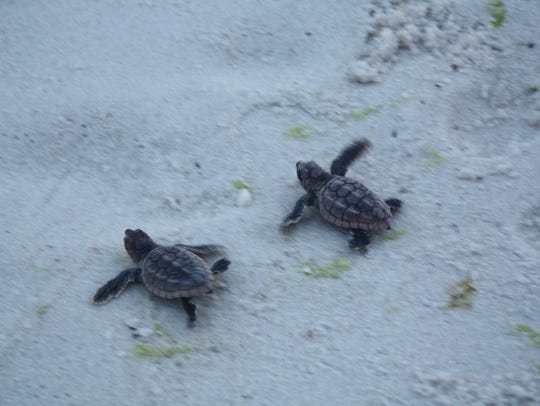 A nest of baby loggerhead sea turtles that hatched on Pensacola Beach in August 2014 makes its way toward the water.