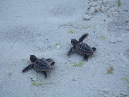 On Monday, August 18, 2014 a nest of baby loggerhead sea turtles hatched on Pensacola Beach. 105 turtles were counted in the nest and 96 emerged.