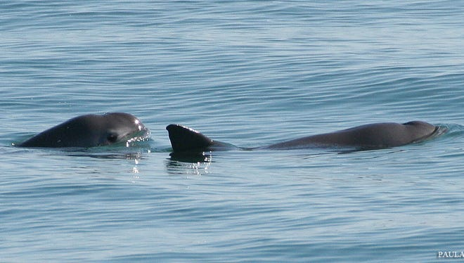 There are fewer than 40 vaquita left in the wild.