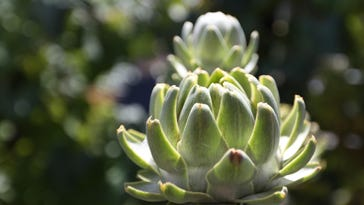 Artichokes in bloom at the Parrish Learning Garden.