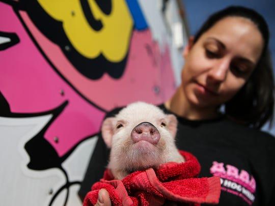 Brandi Kinnear holds a pig at Swifty Swine while setting