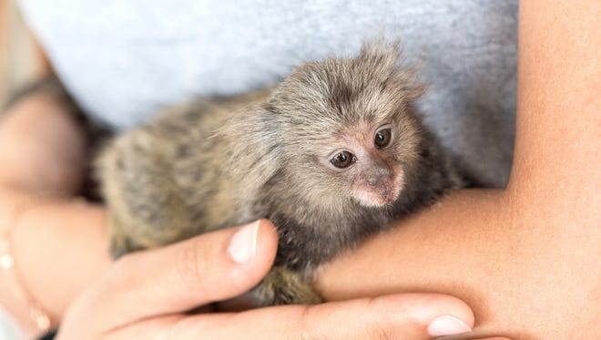A Common Marmoset Monkey