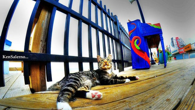 A cat rests on the Seaside Heights boardwalk. The Borough Council plans to trap and expel most of its feral cat population to animal shelters on the mainland.