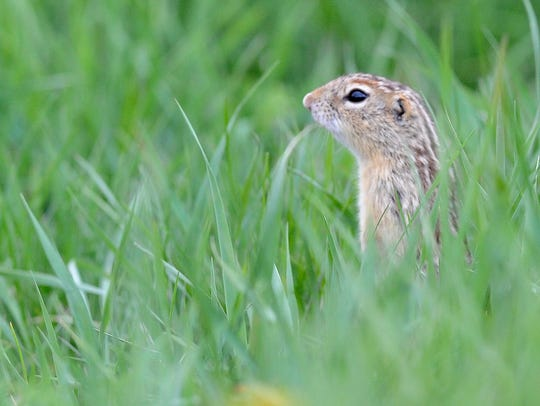 A striped gopher looks out at signs of summer on Oak