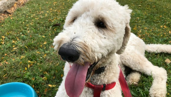 Henry the Bouncing Golden Doodle is an excellent trail