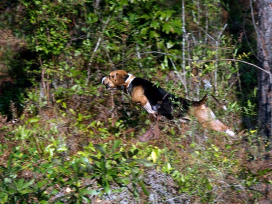 A beagle from Okaloosa Correctional Institution's K-9