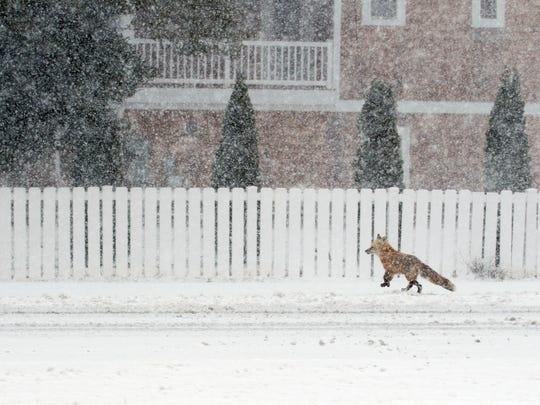 A fox trots across a snowy Coastal Highway Thursday, March 5 in Bethany Beach.