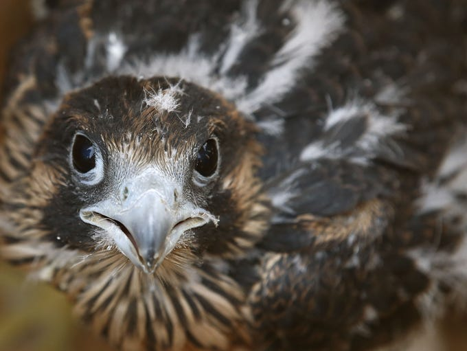 Three peregrine falcons chicks tumbled from their specially-designed