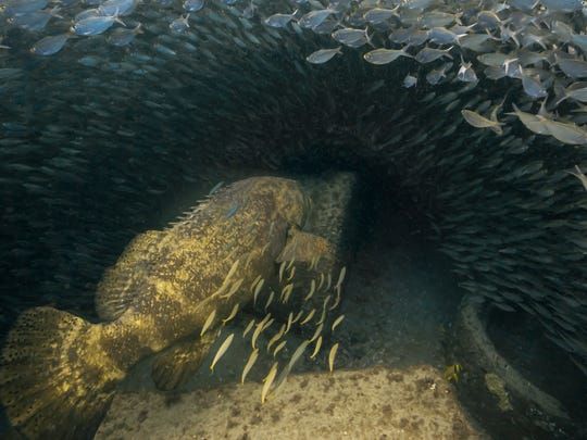 Goliath grouper entering baitball