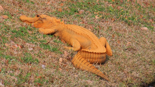 In a photo provided by Stephen Tatum, an orange alligator is seen near a pond in Hanahan, S.C.