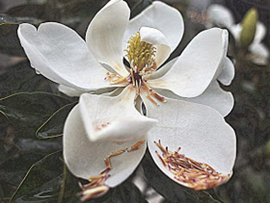 The iconic Magnolia