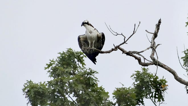 An osprey spreads its wings above Gifford Pinchot State Park in Wellsville after it had dove into the water to catch fish.
