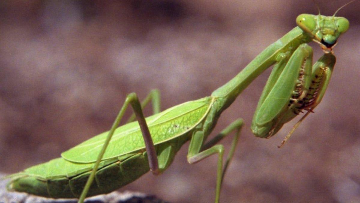 In Praise Of The Praying Mantis