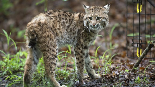In a Saturday, May 21, 2016, photo, a young bobcat looks around as it is released in the forest near Bloomington, Ind.