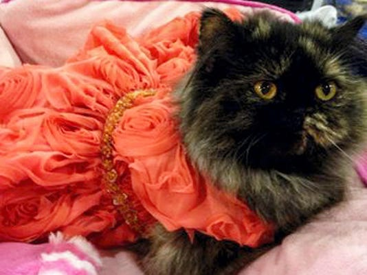 A cat wears an elegant party dress by Puppy Wear, one of the pet clothing lines carried by Dogs of Gettysburg.