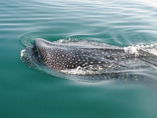 Frank R. Garza of Phoenix swam with whale sharks in