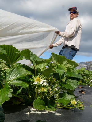 Berry Acres farm helper David Walton pulls ground cover over strawberry crops preparing for a frost in Anderson on Wednesday, March 21. The farm plans on opening April 16.