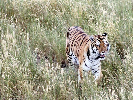 Tigers are just some of the large predators that roam freely in large-acreage habitats at The Wild Animal Sanctuary outside Keenesburg, Colorado. (Photo by Liz Evans Scolforo)