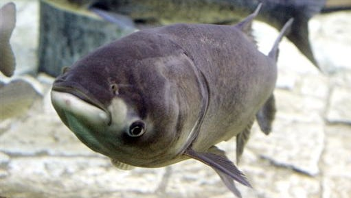 A bighead carp, front, a species of the Asian carp, swims in an exhibit that highlights plants and animals that eat or compete with Great Lakes native species, at Chicago's Shedd Aquarium on Jan. 5, 2006.
