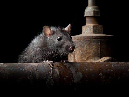 050718-rat-GettyImages.jpg