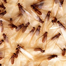 Termites are active 24 hours a day, seven days a week, almost year round.