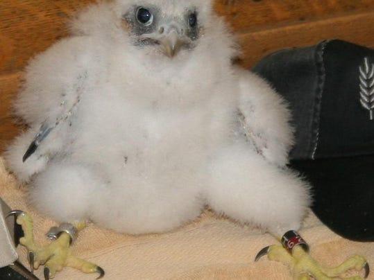 young falcon.jpg