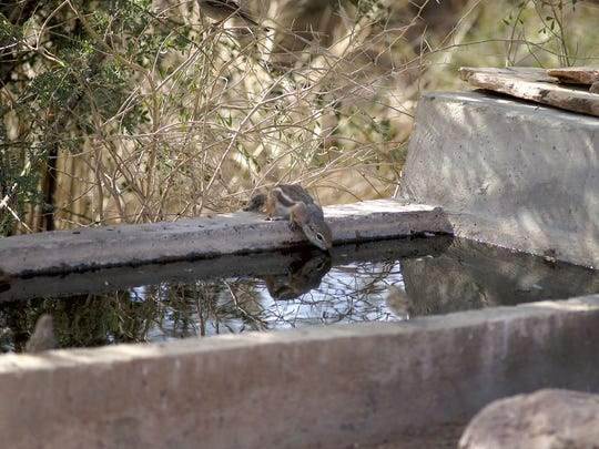 A squirrel at an Arizona Game and Fish Department water catchment.