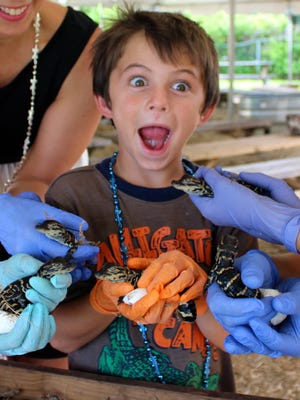 A child at last year's baby alligator hatching event at Gatorama.