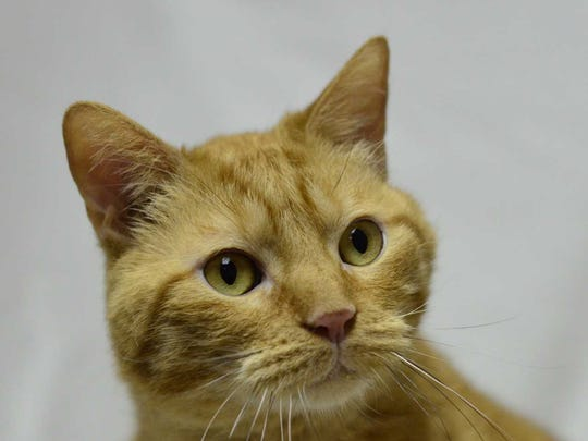 Lion - Male (neutered) domestic short hair, adult.