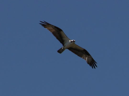 An osprey glides above Stockton dam's spillway, looking for a fish it can easily snatch from the roiling water.