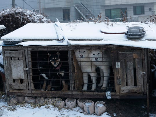 In this Friday, Feb. 23, 2018, photo, dogs are seen in a cage at a dog meat farm in Siheung, South Korea. (AP Photo/Ahn Young-joon)