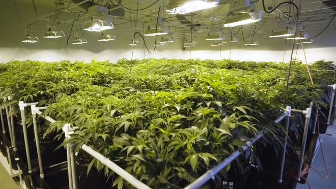 Cannabis plants growing under lights.