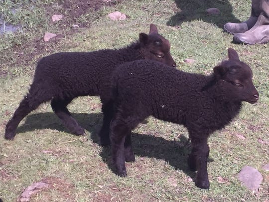Meet the Lambies Day, the annual spring open house at Wolston Farm near Scio, will be held this year from 10 a.m. to 4 p.m. Saturday, April 9. Farm owners Ian Caldicott and Raven OKeefe said as of Tuesday, April 5, there are 40 new lambs this spring, the majority of them are black lambs. It's possible that some may even be born on the day of the event.