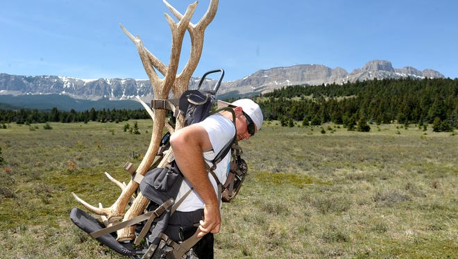Shane Hofstead straps on his pack loaded shed elk antlers at the Sun River Wildlife Management Area in 2012.
