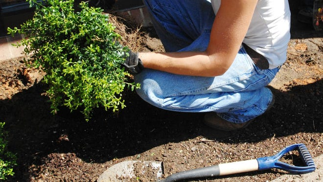 Plant roots grow sideways more than down, so when planting, dig a wide hole, not a deep one. Take the plant out of its container and massage the roots to where they are looser, then put the plant to where the base of the trunk is about 1 inch above ground level.