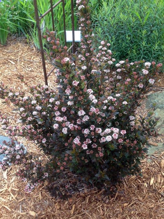WSF 0119 Plants of yr ninebark