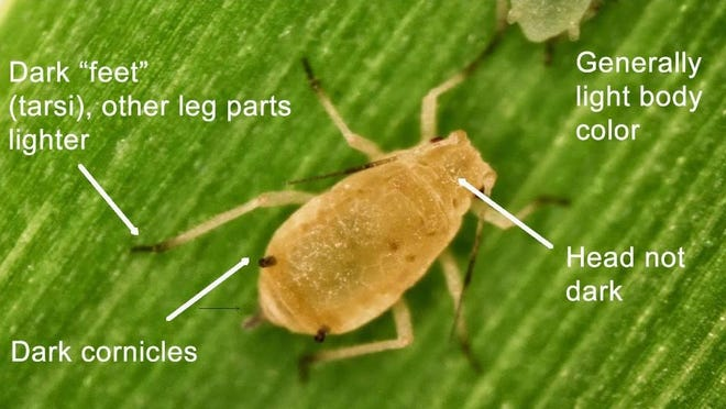 Sugar Cane Aphids have been seen in local fields and it is time to be scouting for them.