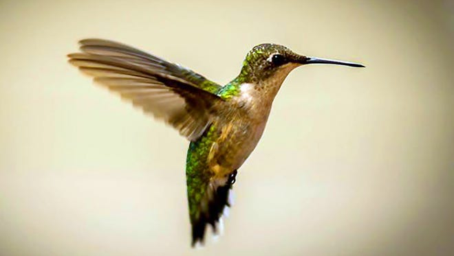 Ruby-throated hummingbirds weigh about the same as three average paperclips.